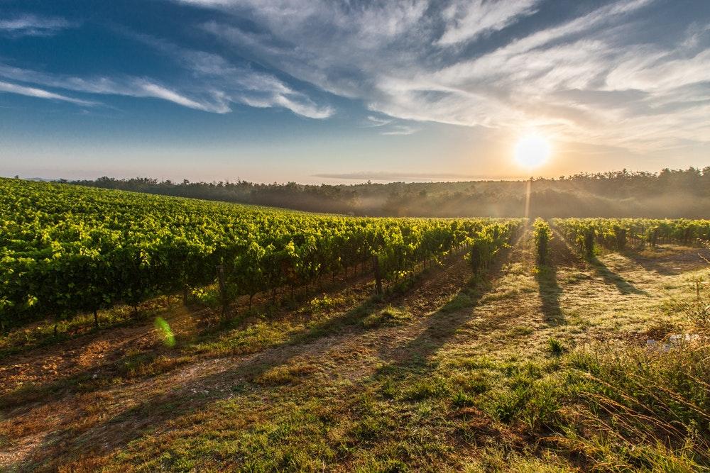 Saint-Nicolas de Bourgeuil : Vin et cépage