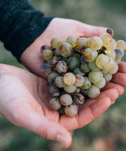 Amertume dans le vin